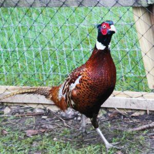 game-pheasant-netting
