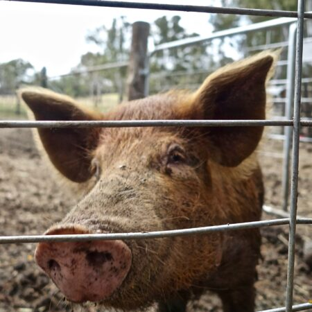 Pig & Live Stock Fencing