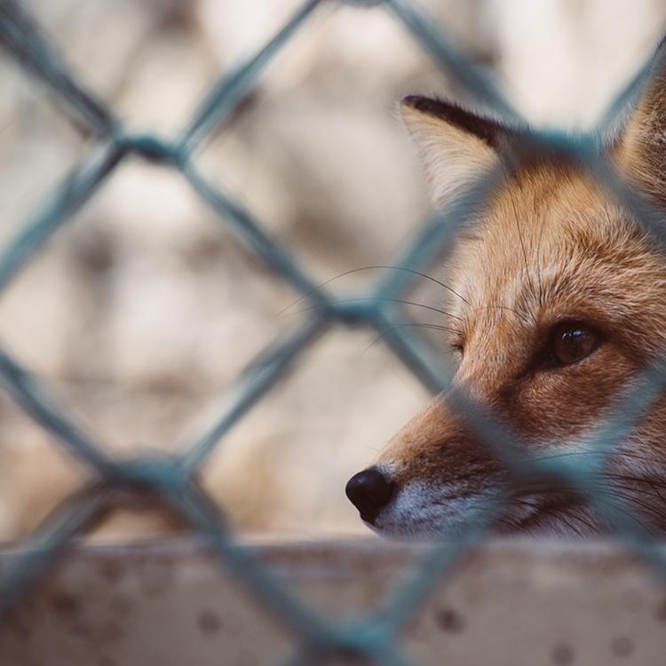 animal-cage-fox